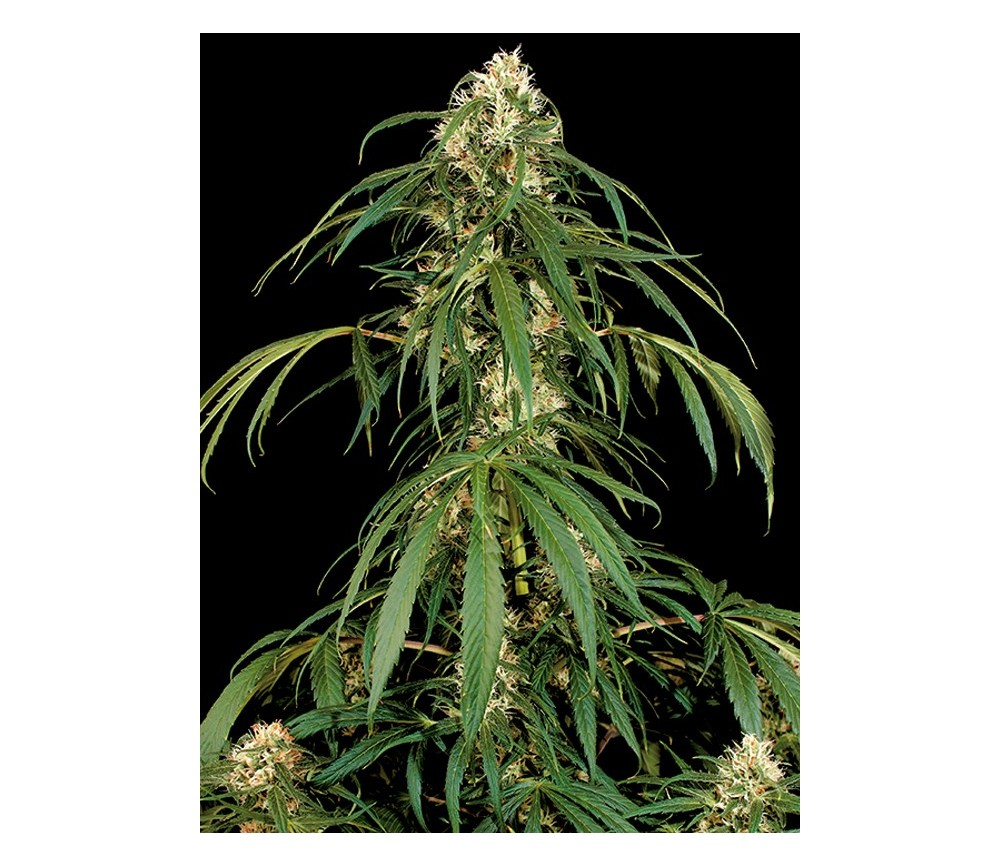 Super Silver Dinafem Seeds