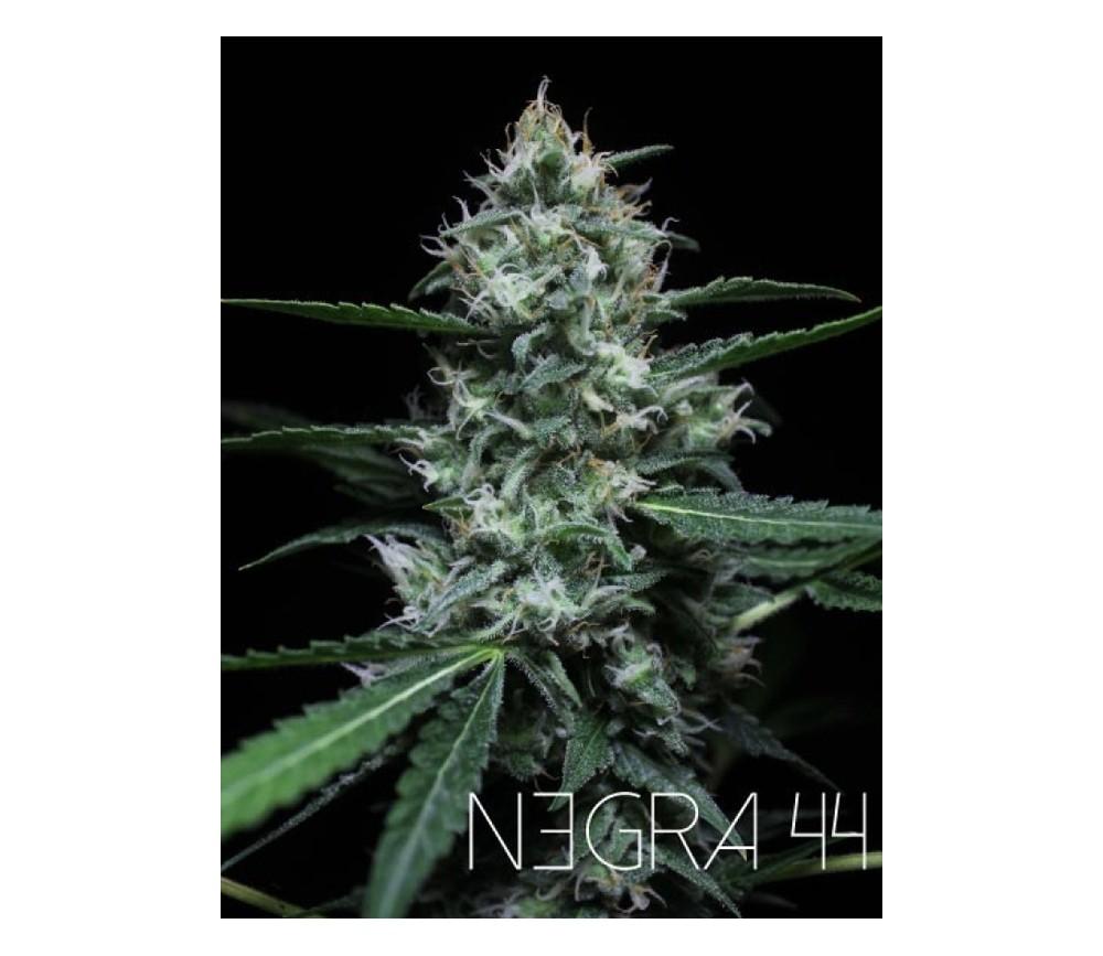 NEGRA 44