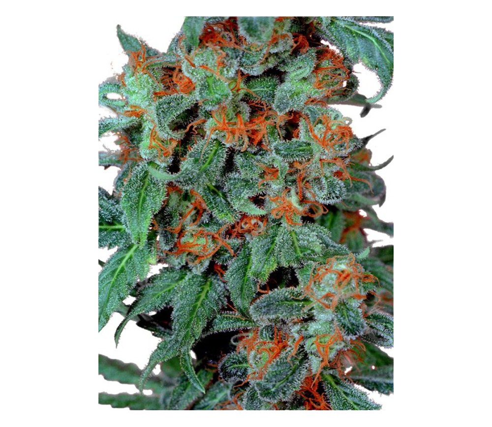 ORANGE BUD REGULAR
