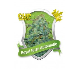 ROYAL HAZE AUTOMATIC