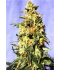 White Domina - Kannabia Seeds