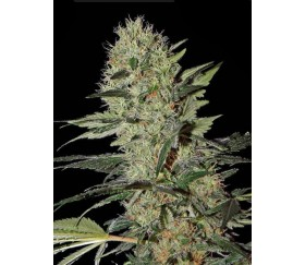 Exodus Cheese Auto Green House Seeds