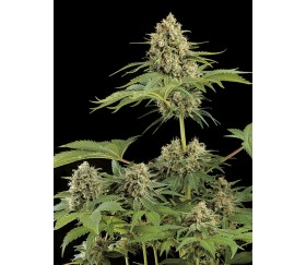 Moby Dick Dinafem Seeds