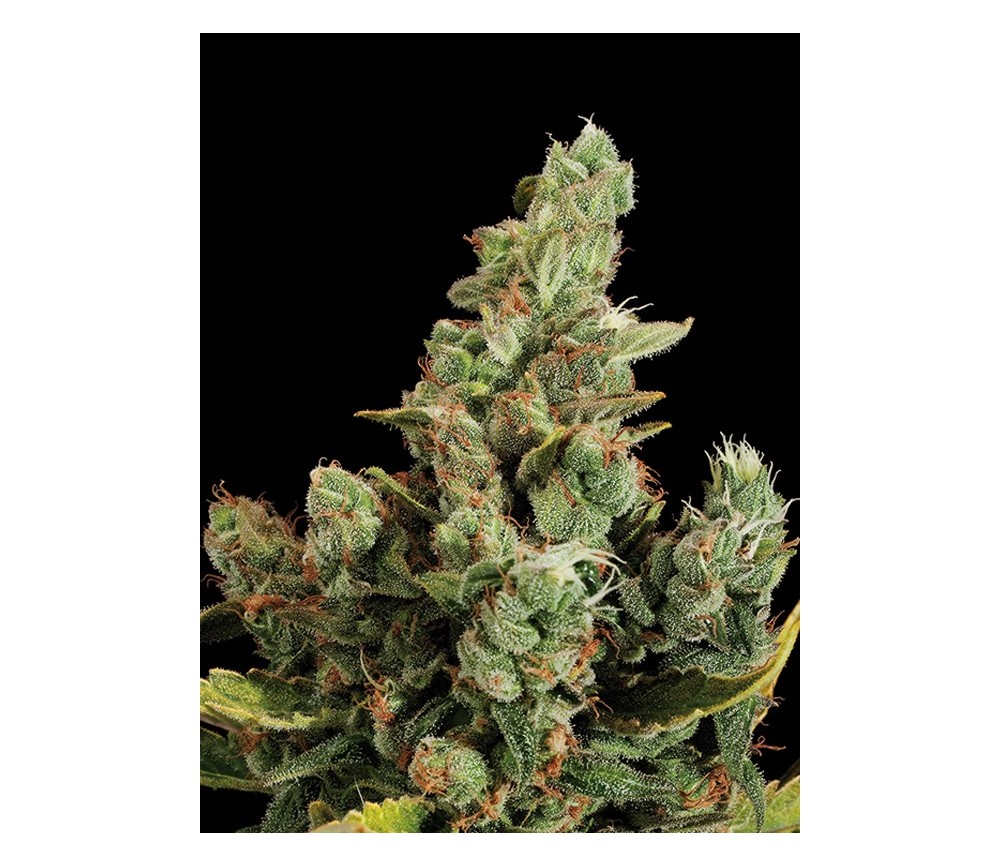 Cheese Dinafem Seeds
