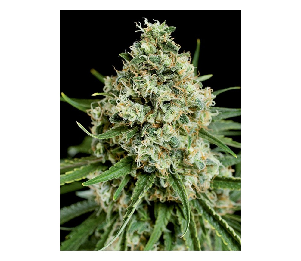 Critical 2.0 Dinafem Seeds