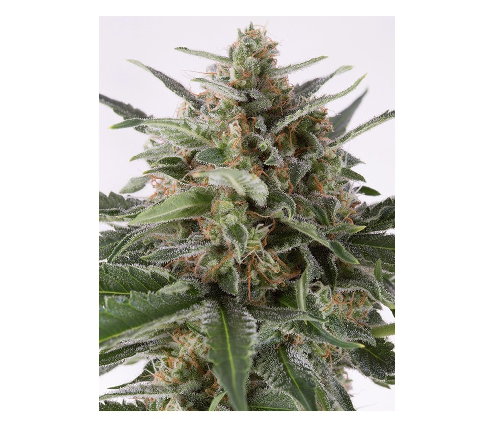 Critical + Auto Dinafem Seeds