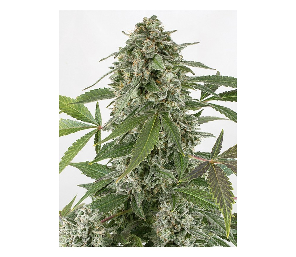 White Widow Auto Dinafem Seeds