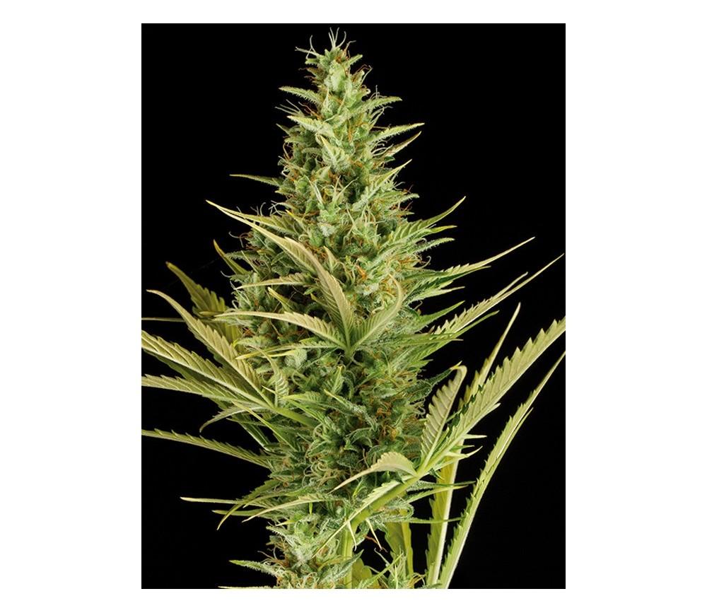 Cheese XXL Auto Dinafem Seeds