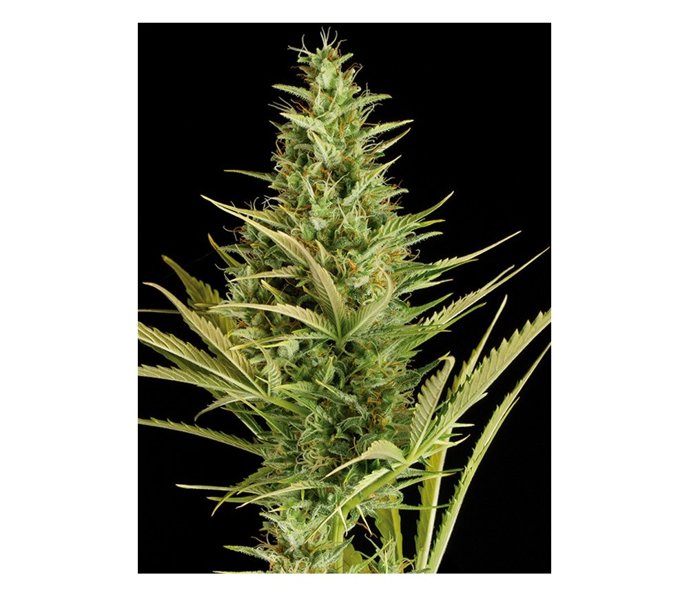 Cheese XXL Auto Dinafem Seeds
