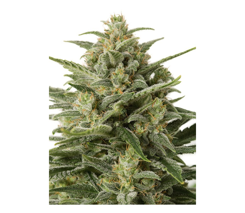 White Widow XXL Auto Dinafem Seeds