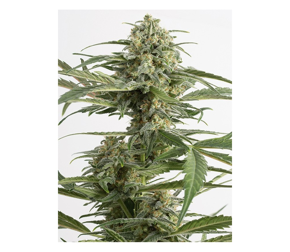Critical Cheese Auto Dinafem Seeds