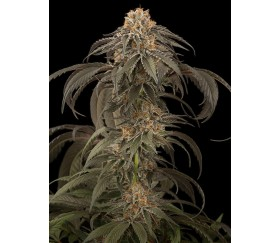 Purple Afghan Kush Dinafem Seeds