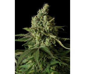 Moby Dick CBD Dinafem Seeds