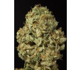 Dinamex Auto Dinafem Seeds