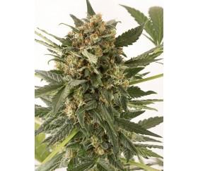 Kush n Cheese Auto Dinafem Seeds