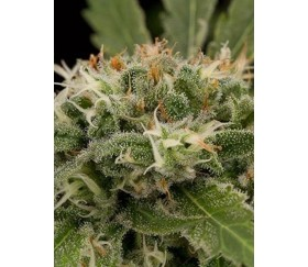 Strawberry Amnesia Dinafem Seeds