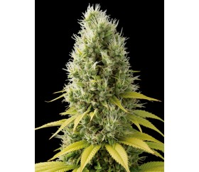 Shark Shock CBD Dinafem Seeds