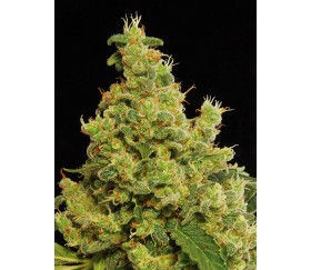 Blue Hash Dinafem Seeds
