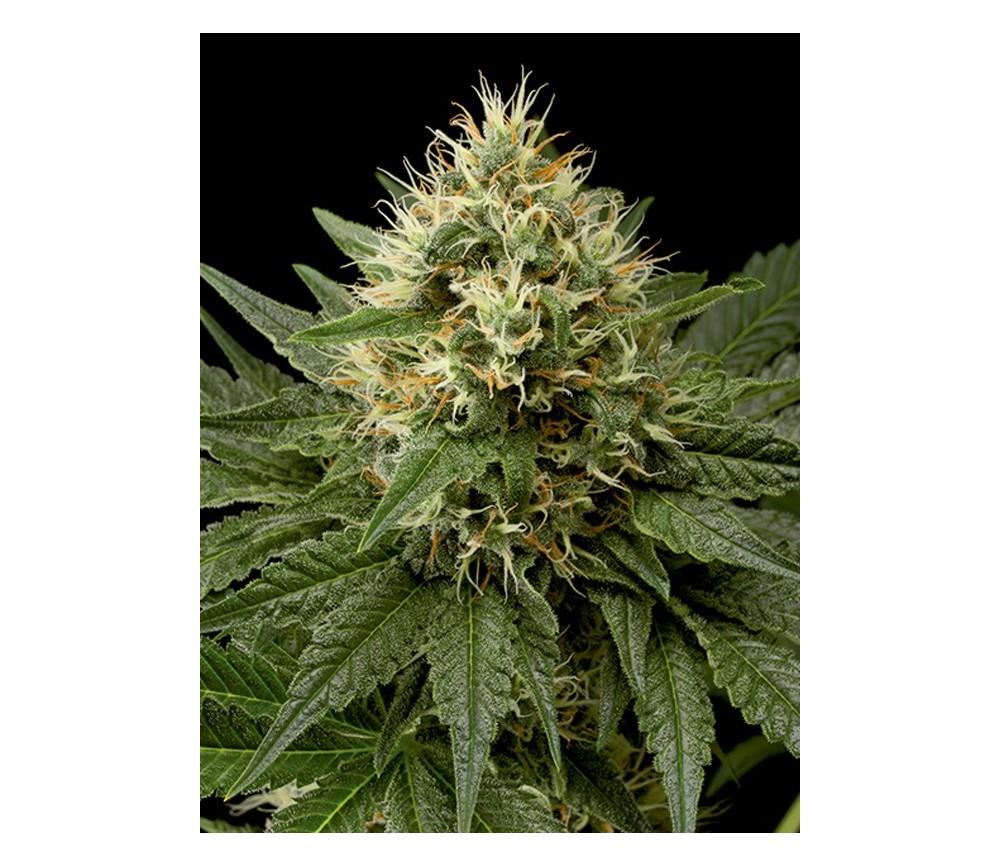 Dinachem Dinafem Seeds