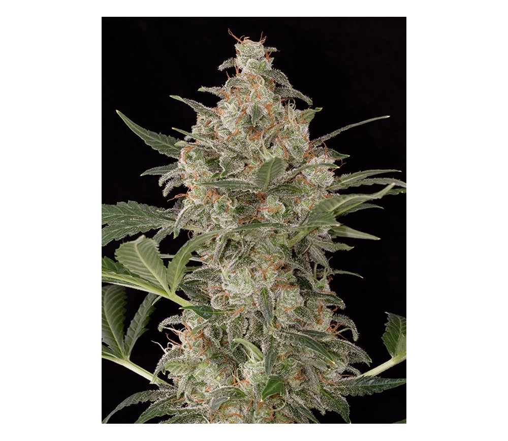Cheese Auto Dinafem Seeds