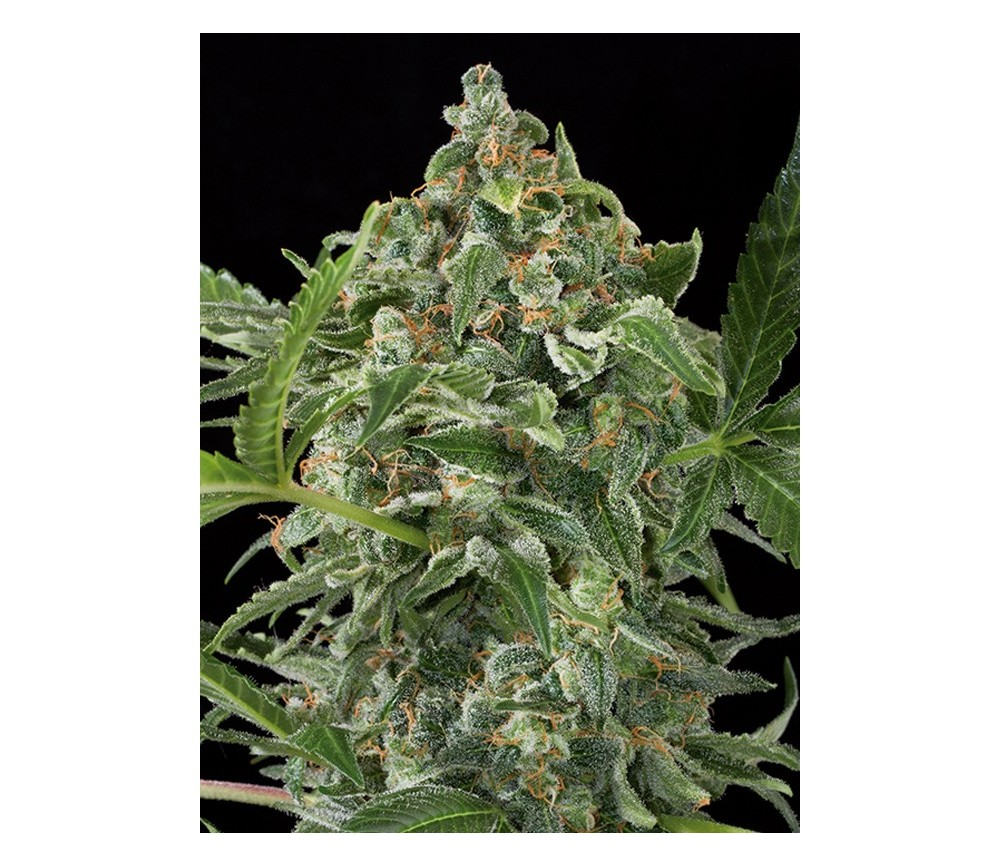 White Cheese Auto Dinafem Seeds