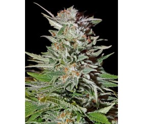 Super Lemon Haze Auto - Green House Seeds