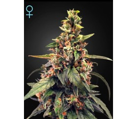 Great White Shark CBD - Green House Seeds