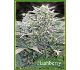 HASHBERRY REGULARES
