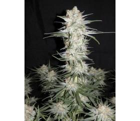 Kraken - Buddha Seeds