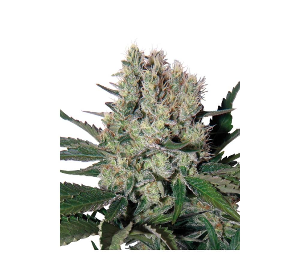 Syrup - Buddha Seeds