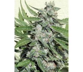 White Dwarf - Buddha Seeds
