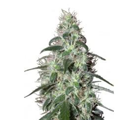 Pulsar - Buddha Seeds