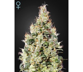 Exodus Cheese Auto CBD - Green House Seeds