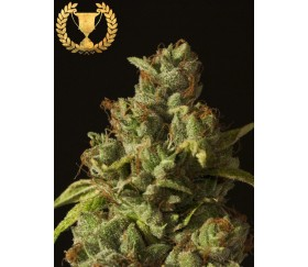 Rollex OG Kush - The Devil's Harvest Seeds