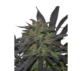 Blue Mistic - Royal Queen Seeds