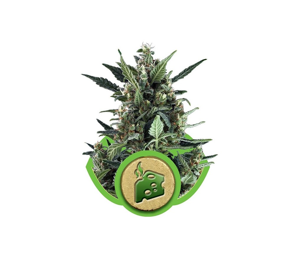 Blue Cheese Automatic - Royal Queen Seeds