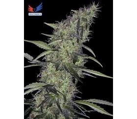 Somango 47 - Positronics Seeds