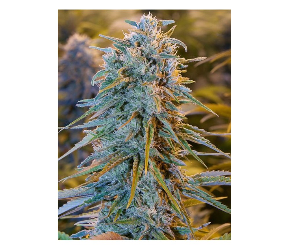 Blue Dream - Humbolt Seeds