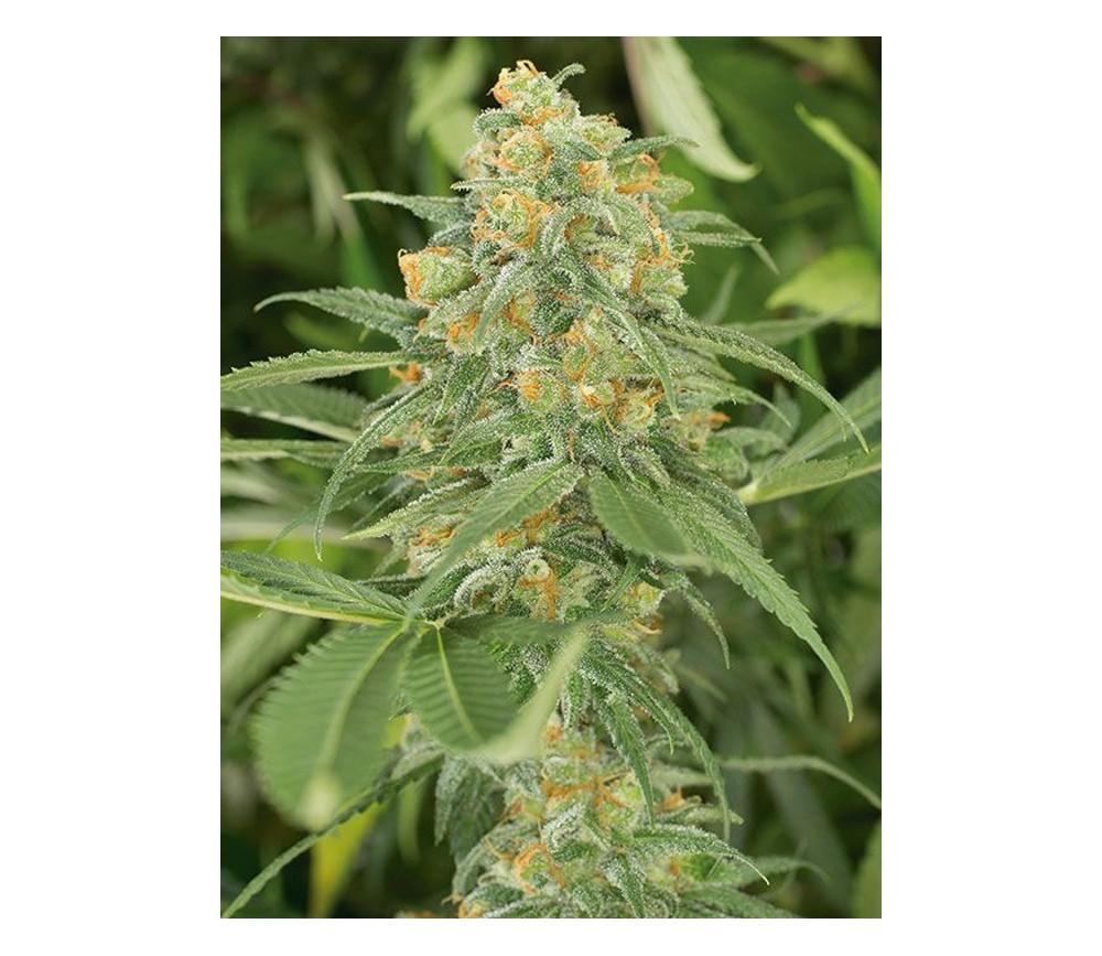 Green Crack - Humbolt Seeds