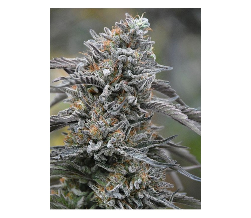 Black D.O.G. - Humbolt Seeds