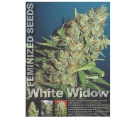 WHITE WIDOW REGULARES
