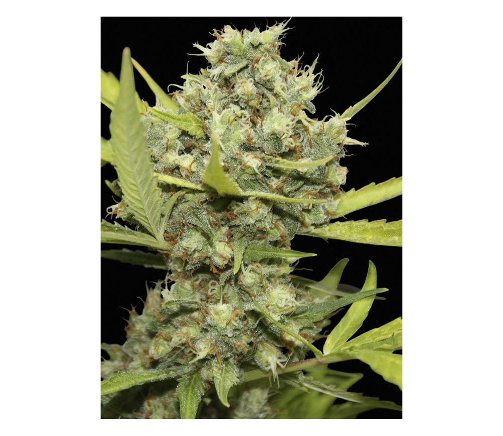 Pineapple Chunk - Barneys Farm