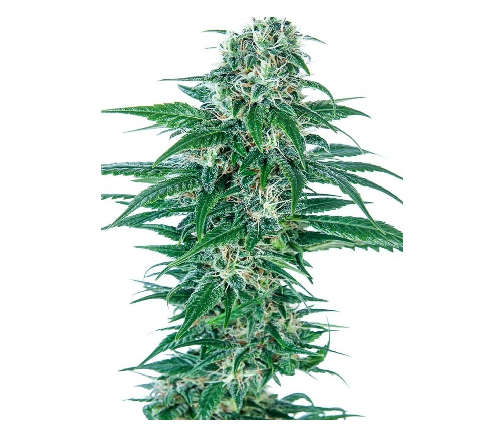 Early Skunk Automatic - Sensi Seeds
