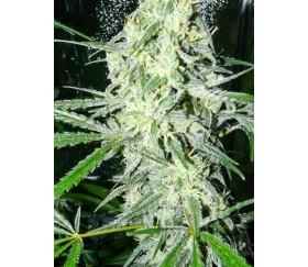 Sex Bud - Female Seeds