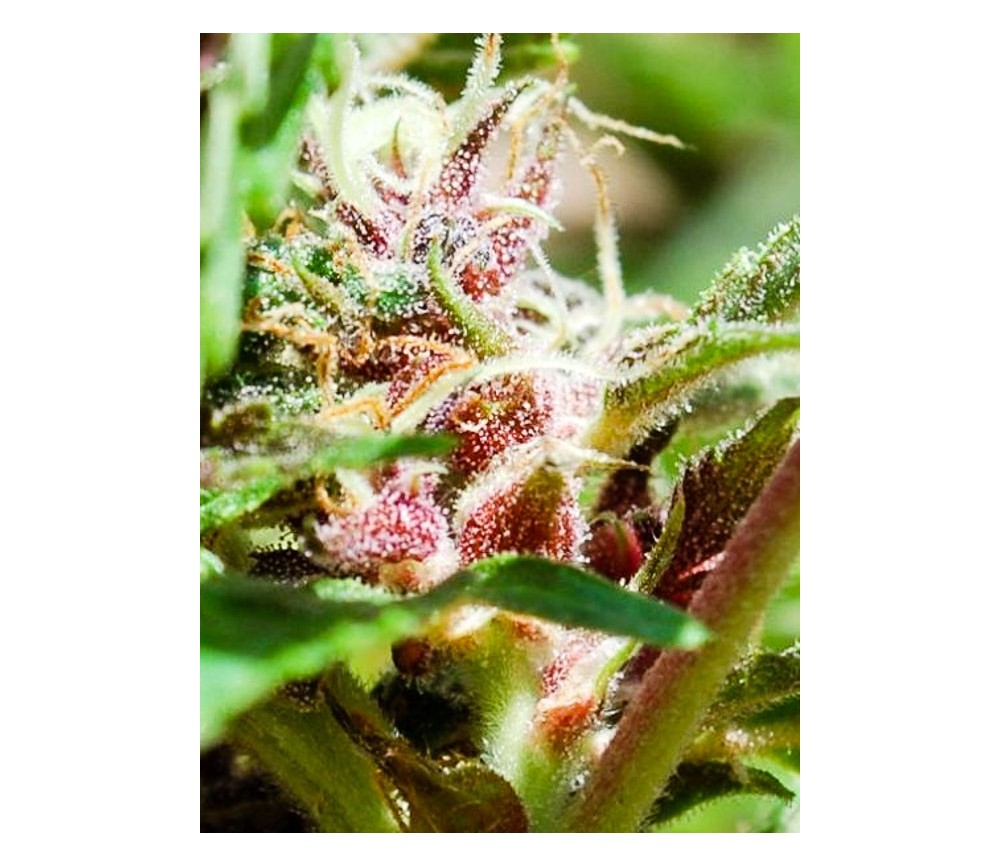 Red Purps - Female Seeds