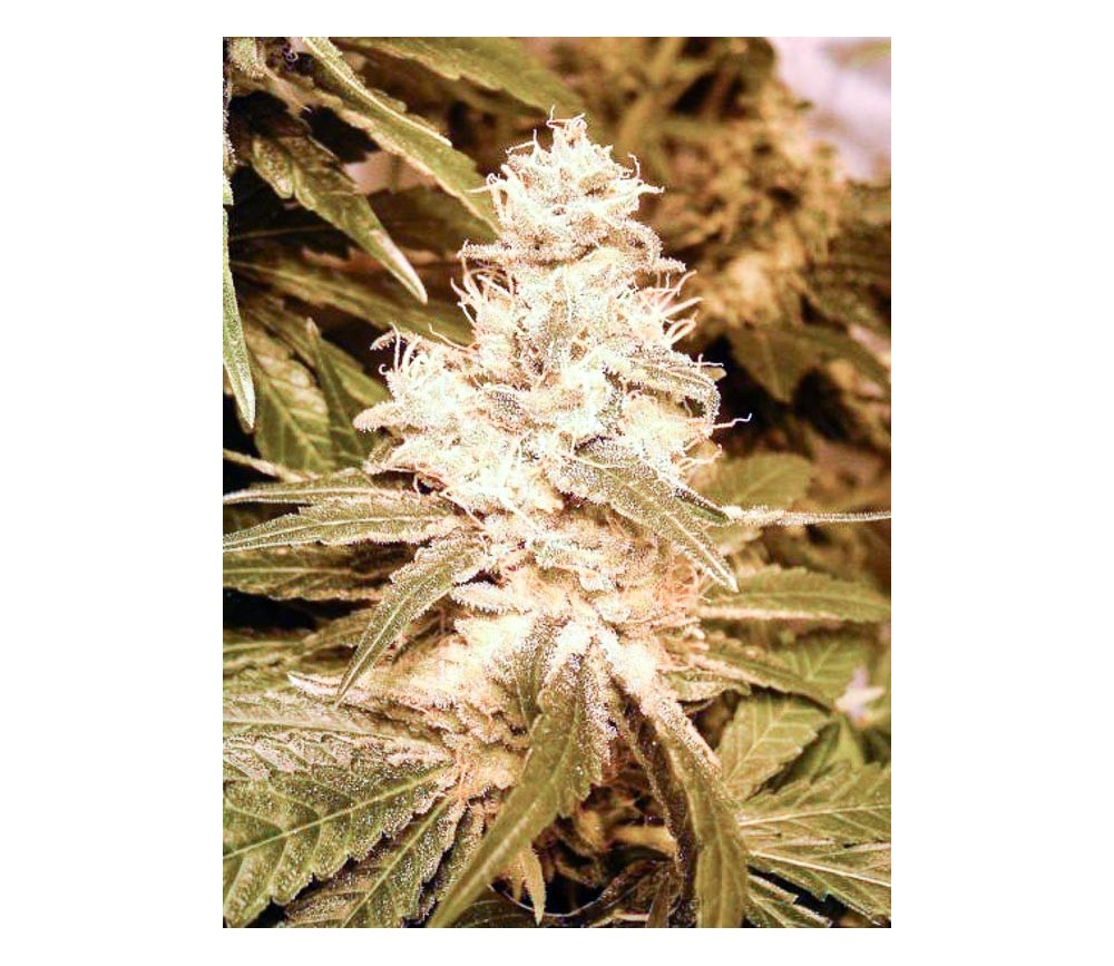 Auto Kush- Female Seeds