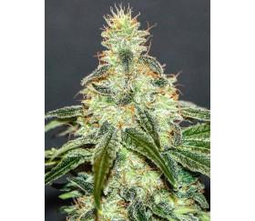 Mataró Blue CBD - Kannabia Seeds