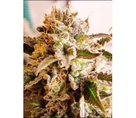 Rockbud - Soma Seeds