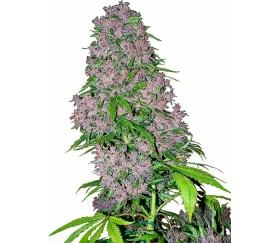 Purple Bud - White Label Seeds
