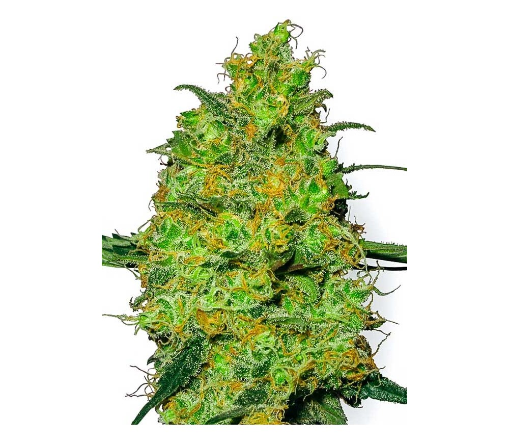 Master Kush - White Label Seeds